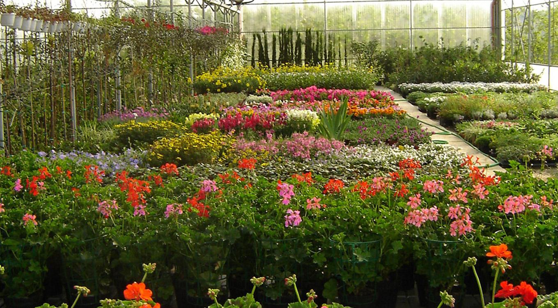 Piante Sempreverdi Da Aiuola vendita piante e fiori in valdarno - caiani vivai garden