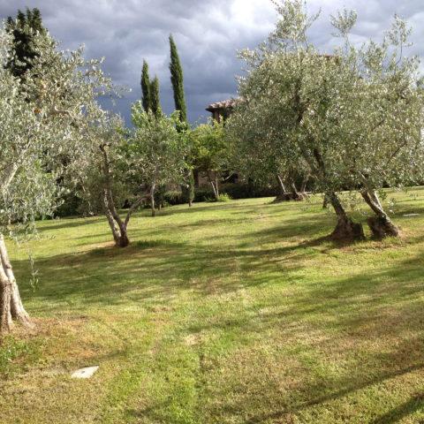 Manutenzione aree verdi con olivi Valdambra Caiani Vivai Garden