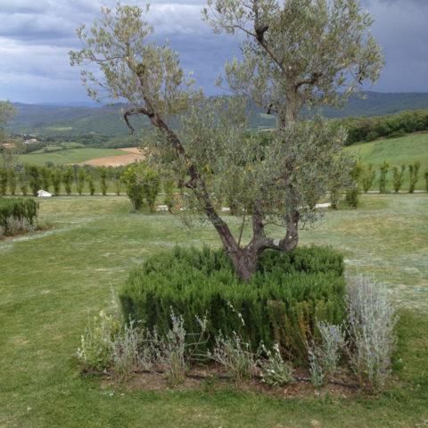 Manutenzione olivi Arezzo Caiani Vivai Garden
