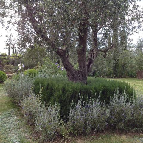 Manutenzione olivi Valdambra Caiani Vivai Garden