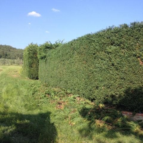 Manutenzione potatura siepi Arezzo Caiani Vivai Garden