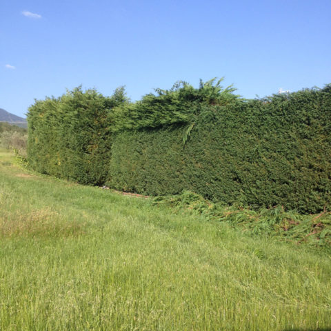 Manutenzione potatura siepi Siena Caiani Vivai Garden