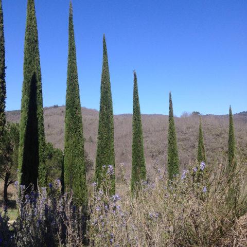 Potature cipressi Siena Caiani Vivai Garden