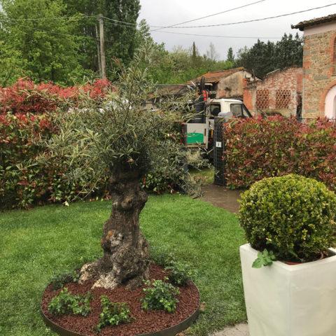 Realizzazione aiuola con olivo bonsai Valdarno Caiani Vivai Garden